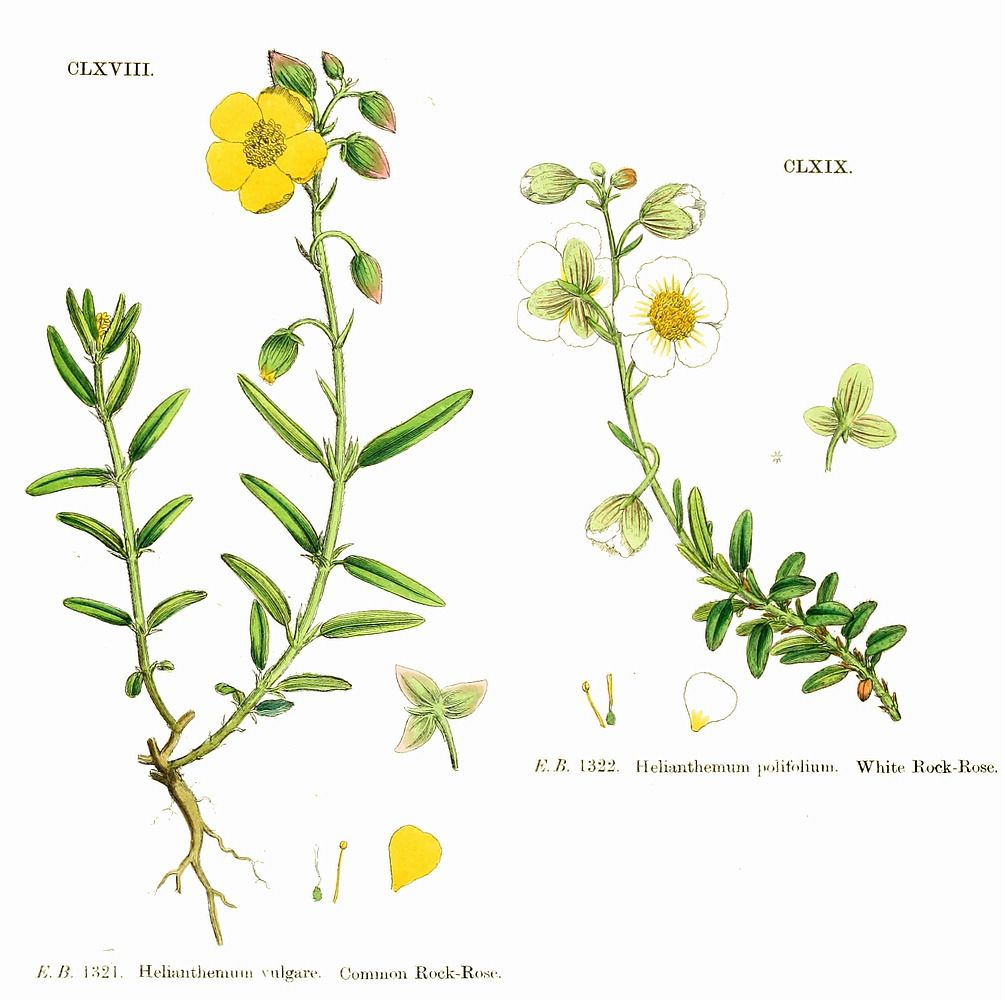 Common Rock Rose Bach Flowers Bach Flower Remedies Rock Rose
