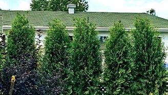 Comment planter une haie de cèdres correctement | Plants ...