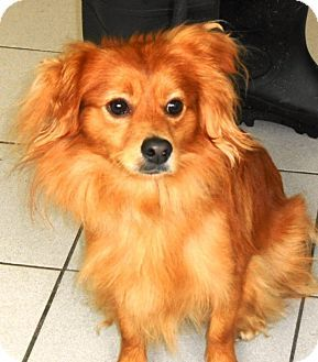 Mango Adopted Dog Rockaway Nj Dachshund Silky Terrier Mix Dachshund Cross Dachshund Mix Blue Dachshund