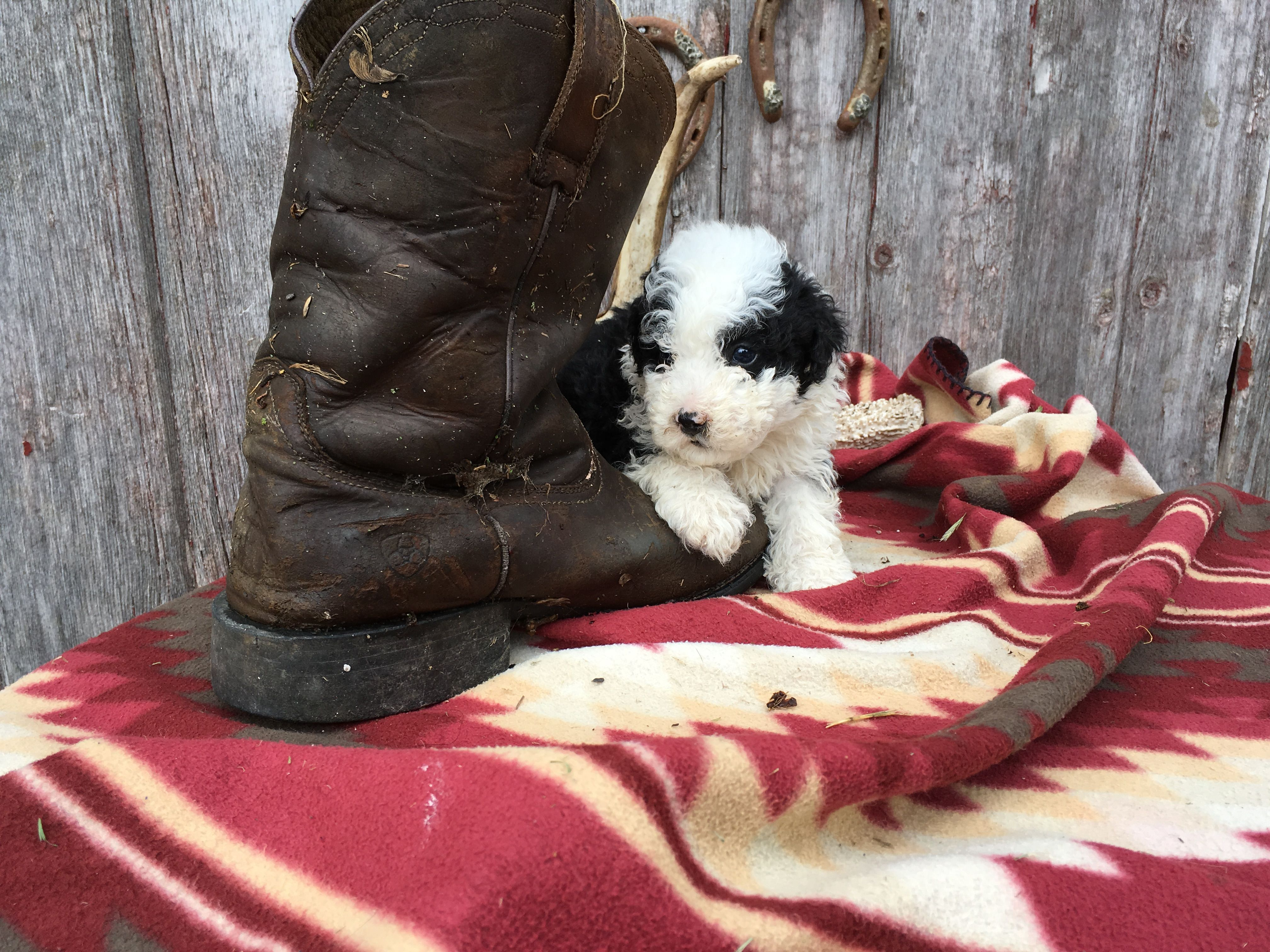 Breed Sheepadoodle Gender Male Registry Non Registrable Personality Bouncy Date Available Jul 12 2019 Special Mark Sheepadoodle Puppy Puppy Finder Puppies