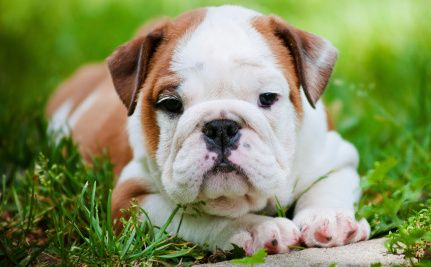 Daily Cute Sophie The Bulldog Puppy Loves Rolling Down Hills