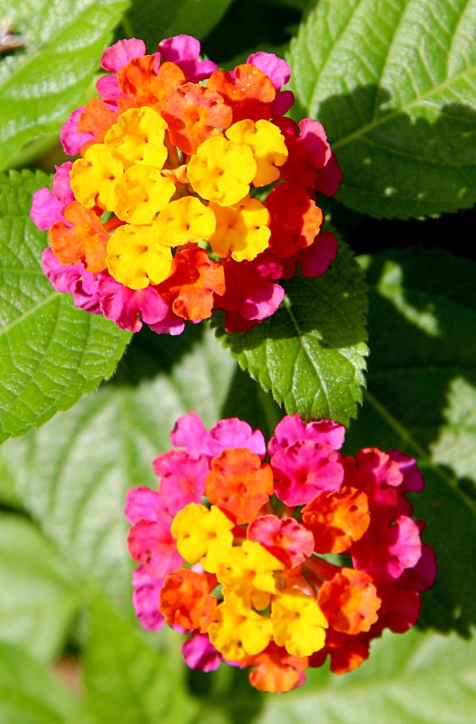 Tricolored Lantana Camara Paco Park 2015 Flower Pots Butterfly Garden Plants Beautiful Flowers Wallpapers