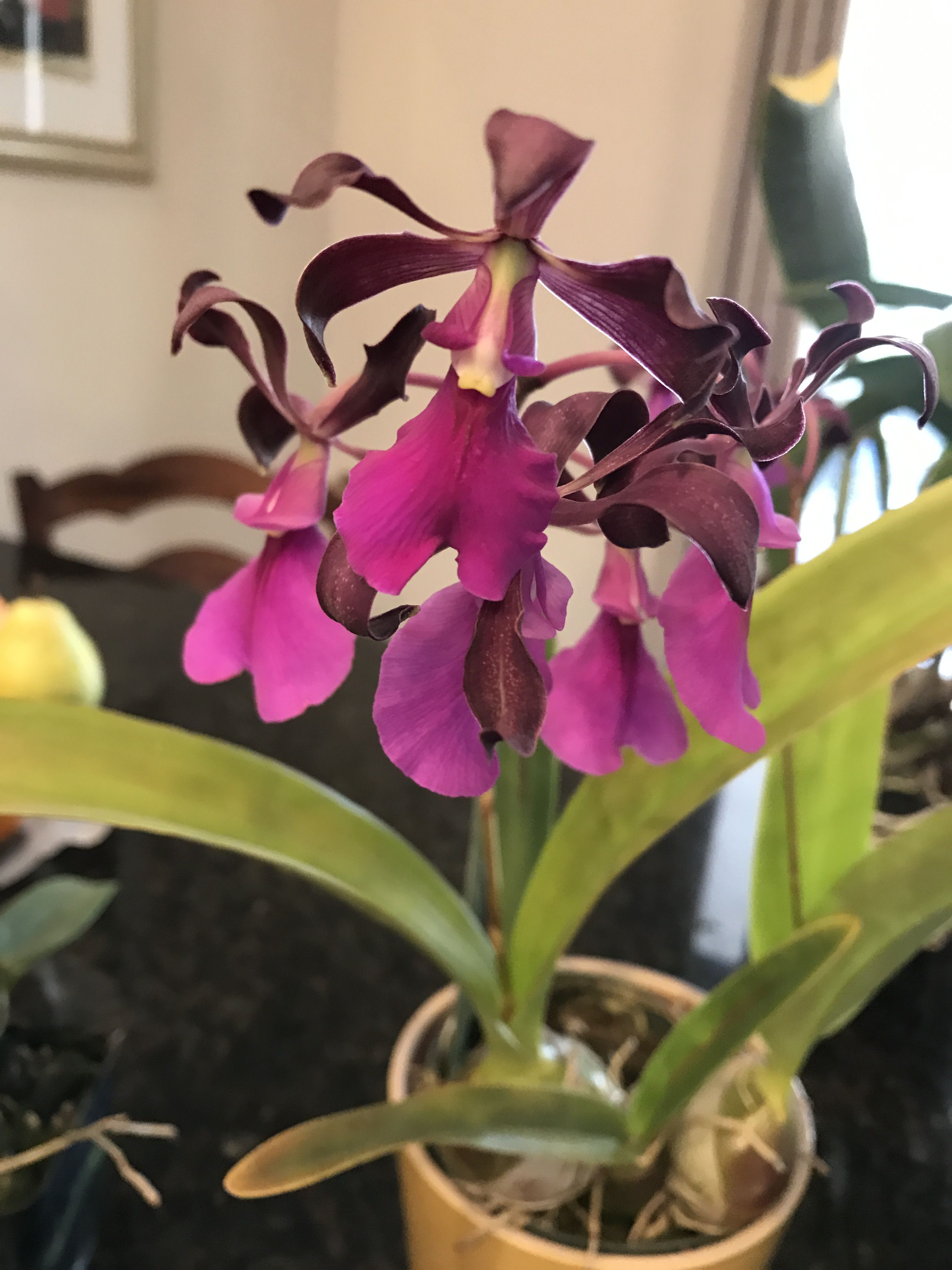 Encyclia cordigera extremely fragrant orquideasy