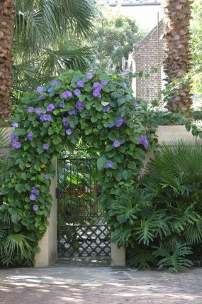 Morning Glory Remember Morning Glories Don T Like Rich Soil Plant In Lean Soil And Don T Feed This Cau Garden Gate Design Garden Gates Charleston Gardens