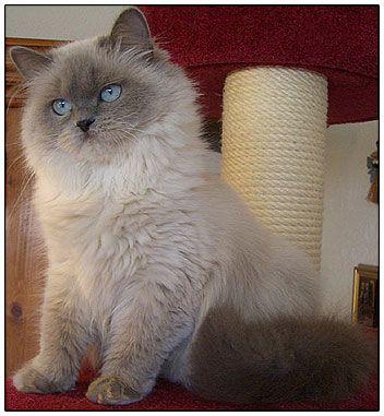 British Longhair Cat Blue Point Russian Blue Cat Russian Blue Gorgeous Cats