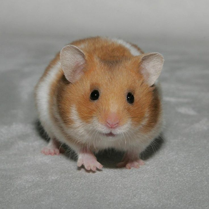 """All About Syrian """"Teddy Bear"""" Hamster Bear hamster, Cute"""