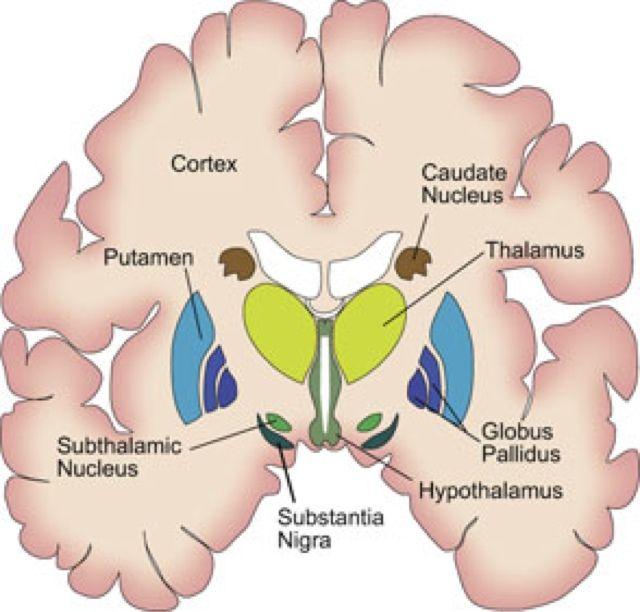 El Cerebro del Siglo XXI: Ganglios Basales | Neuroanatomy ...