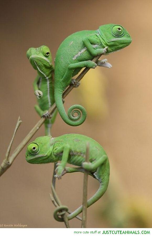 Chameleon Family