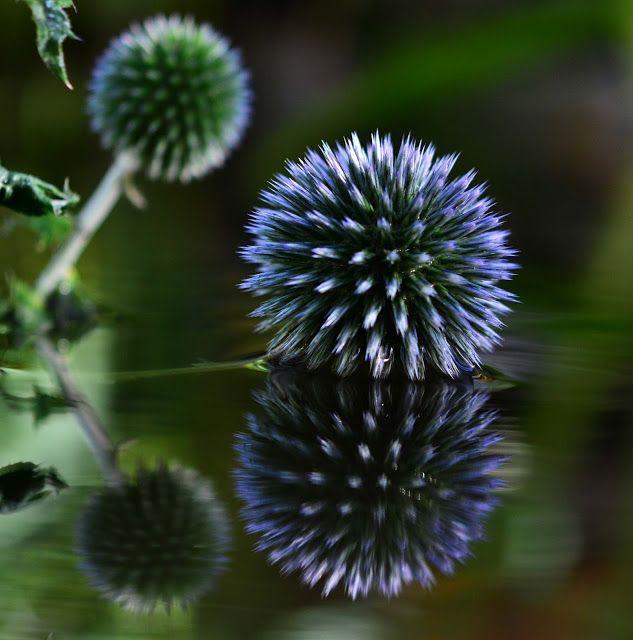 """""""Echinops bannaticus"""", eller Kuletistel. Det finnes flere ulike arter av kuletistel, men de er alle herdige til ca H6, trives i sol og tåler tørke. Blomstrer på sensommer-høst med ekstra lang blomstring om du klipper vekk visne blomster fortløpende. Har dekorativt bladverk som i likhet med andre tistler stikker godt. En humlefavoritt. Obs! Kuletistel er svartelistet i Norge!"""
