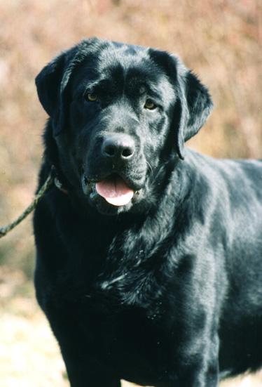 Labrador Retriever Club Of Canada Garten