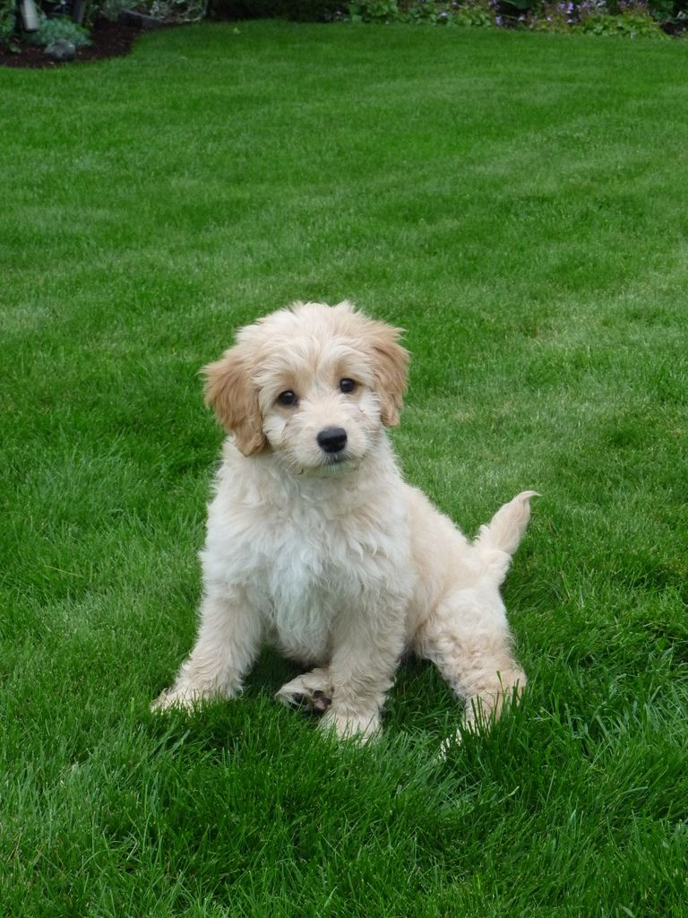 Mookie With Images Goldendoodle Goldendoodle Puppy Cute Animals