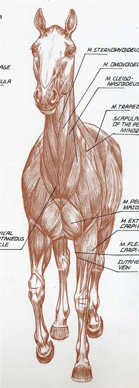 Pin de ヨル en アニマル 資料 | Pinterest | Músculos, Caballos y Anatomía