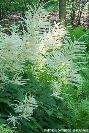 ~Goat's Beard (Aruncus dioicus) is an excellent choice for a background plant in a border or woodland garden. Spreads slowly by rhizomes to form attractive patches.