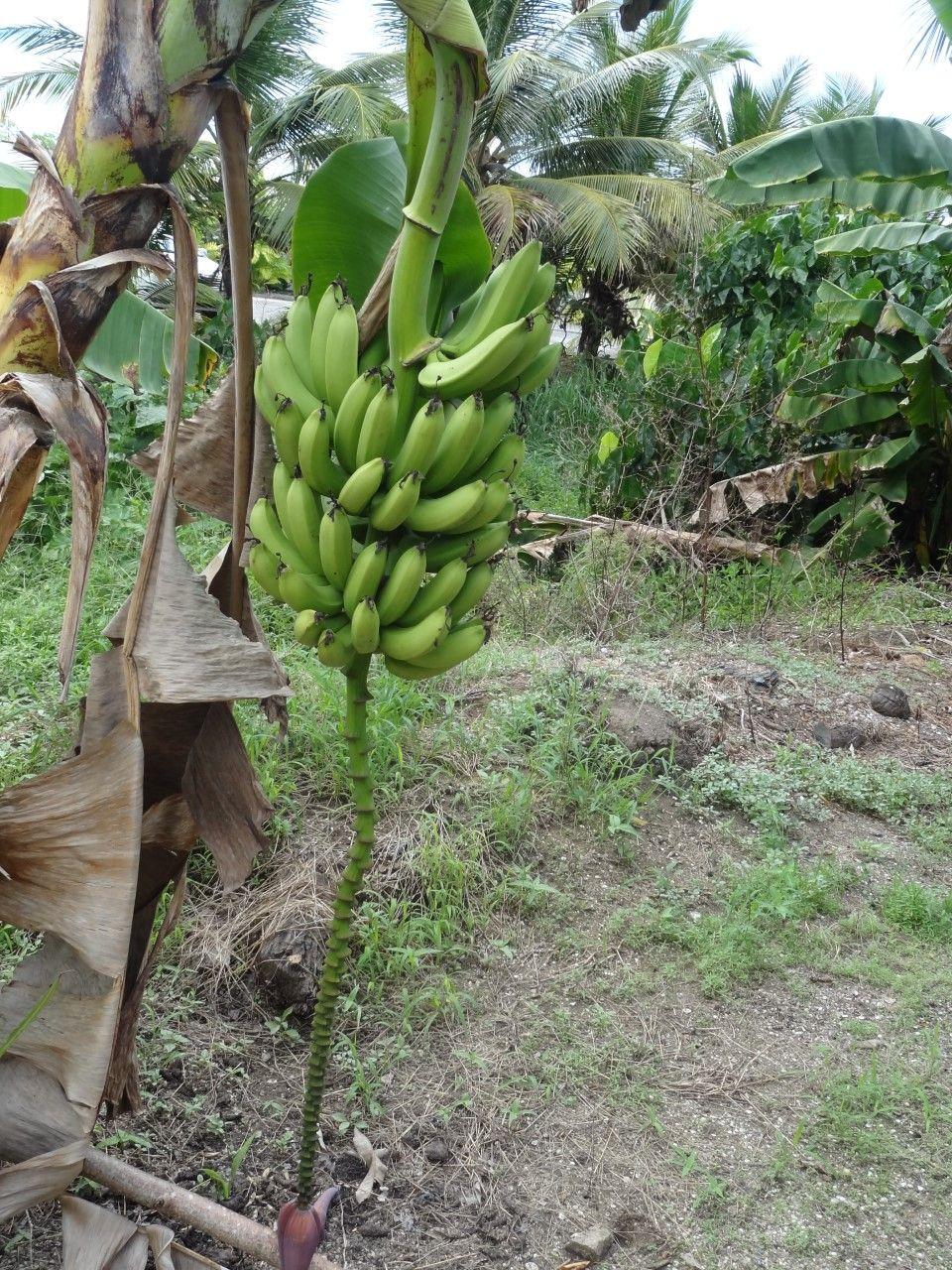 Banana How to grow bananas, Banana, Travel food