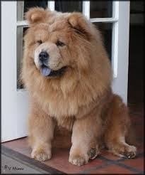 Cinnamon Chow Chow Cute Animals Chow Chow Dog Pictures
