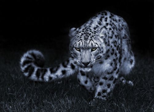 Leopardo de las nieves al acecho - Animal instinct stock photos - OFFSET