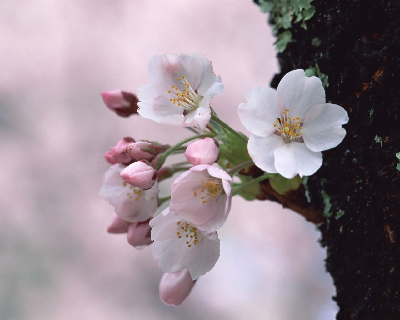 Beautiful Pink And White Springtime Cherry Blossoms Flowers