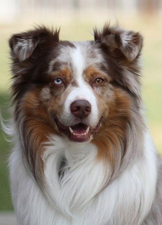 Gorgeous Dogs Aussie Dogs Australian Shepherd