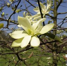 Gold Star Magnolia Oval Tree With Star Shaped Fragrant Yellow