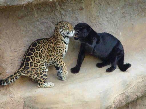 panther vs cheetah | wild animals | pinterest | melanistic animals