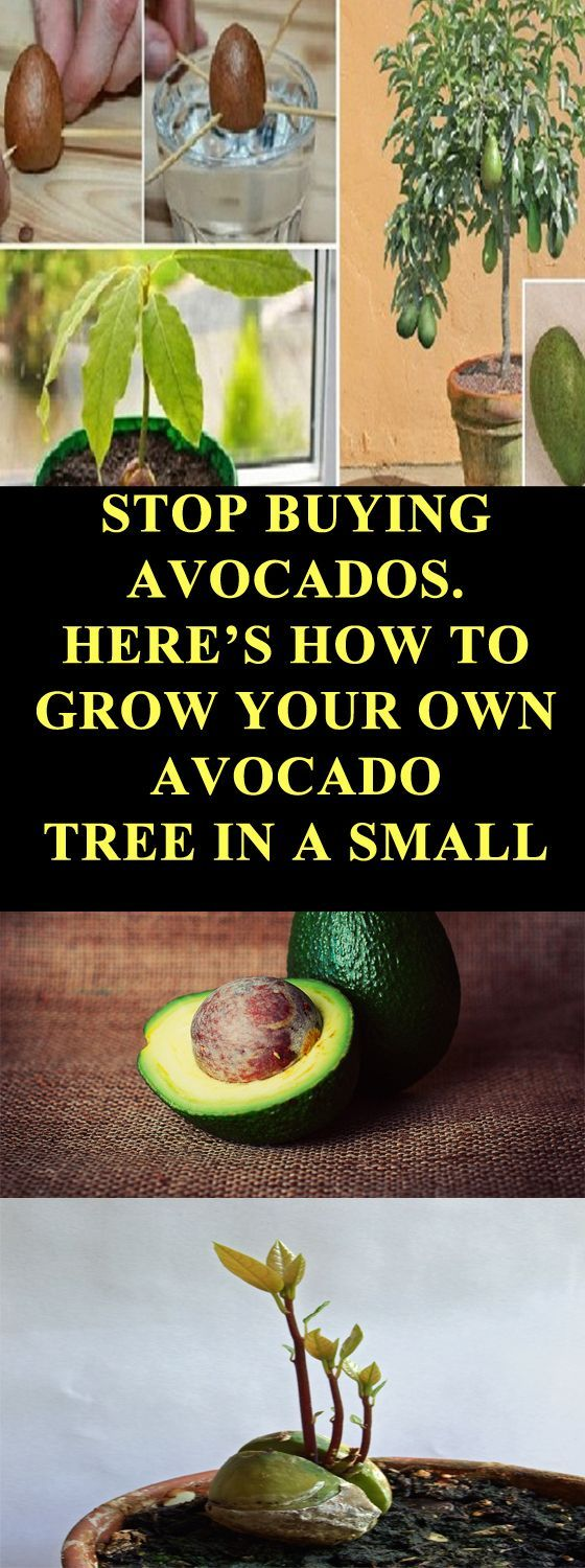 hereu0027s how to grow your own avocado tree in a small pot at home - Grow An Avocado