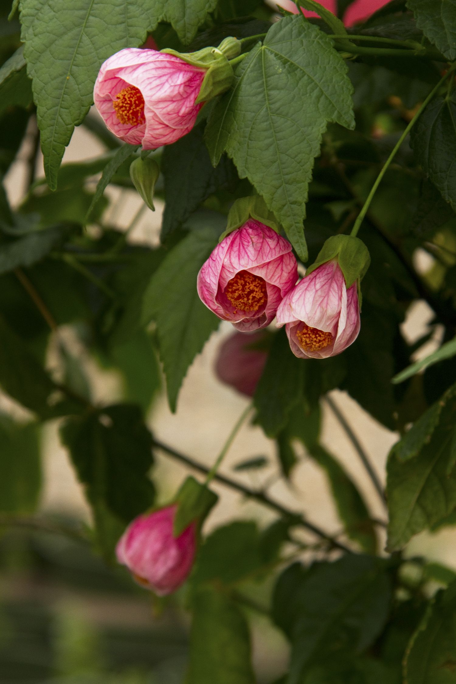 Pink flowering maple is a handsome mounding evergreen shrub that pink flowering maple is a handsome mounding evergreen shrub that displays showy drooping soft pink blooms throughout the year mightylinksfo