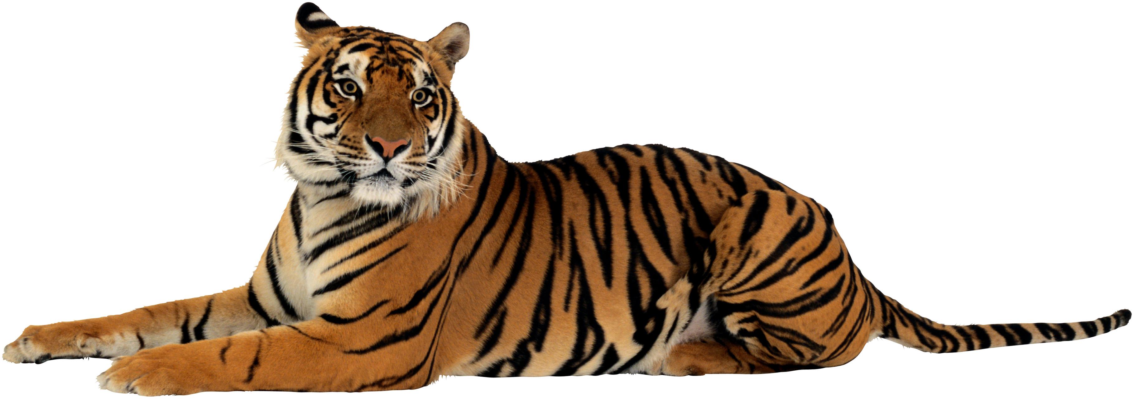 Download Png Image Tiger Png Image Free Download Tigers Tiger Images Tiger Pictures Tiger
