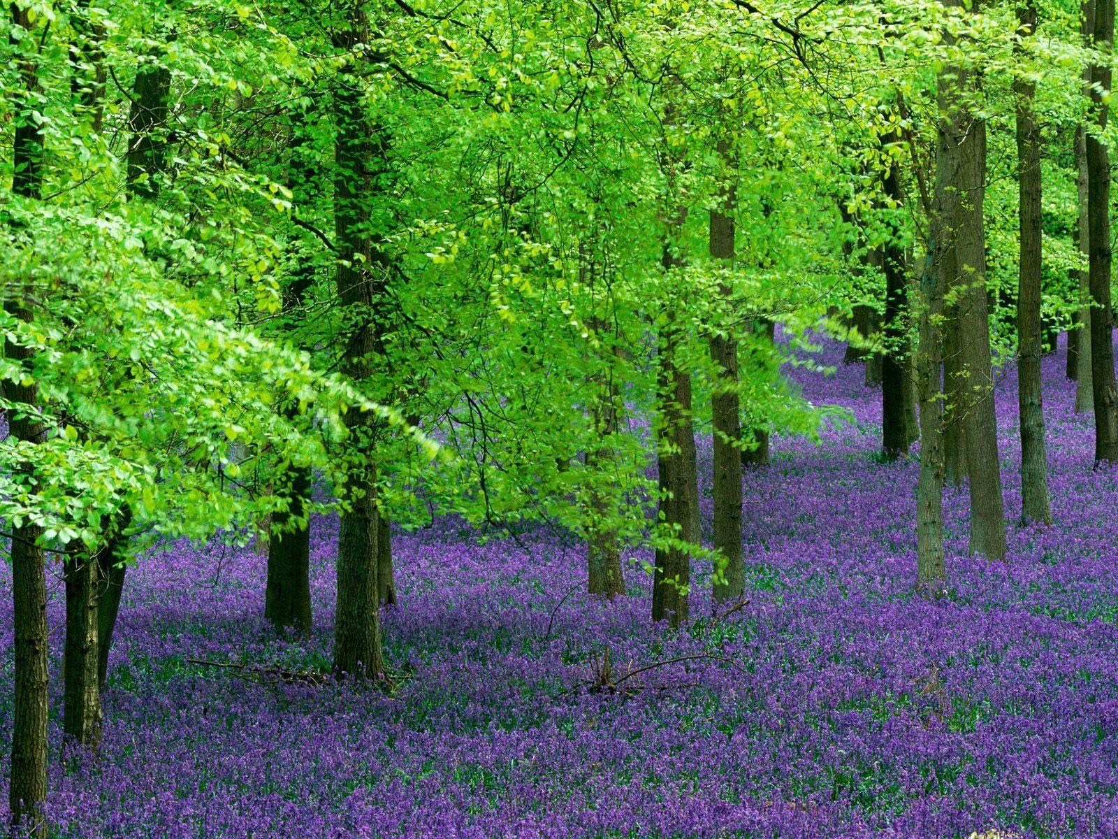 Ein Meer aus Blauvioletten Blumen