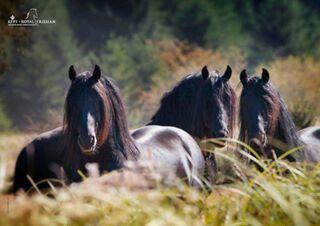 Gorgeous wild friesians :) :) :)