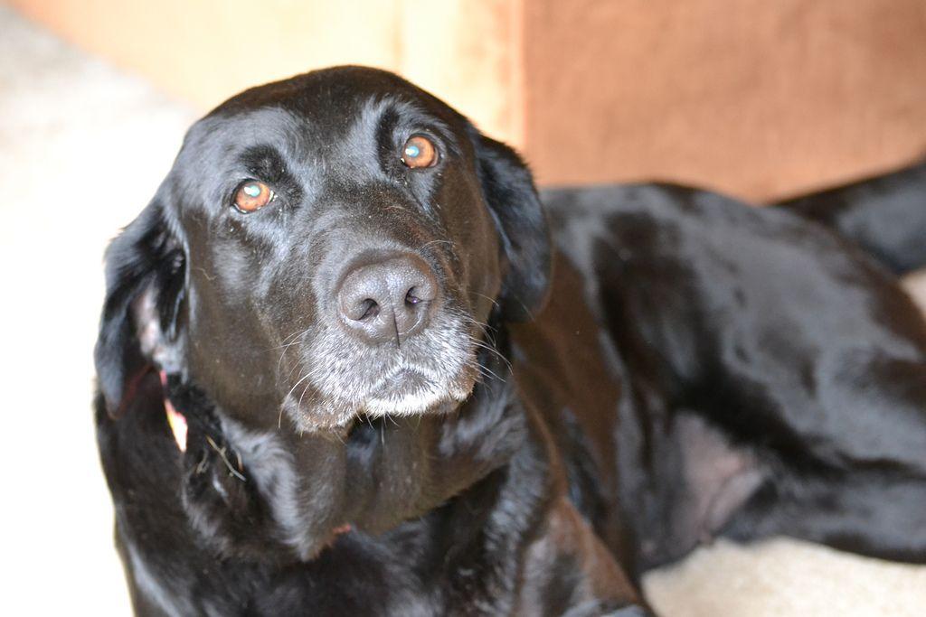 Labradors Com Article Profile Furever Home Friday Violet