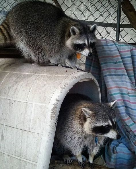 Two Raccoon Rascals With Images Cute Raccoon Trash Panda Raccoon Dog