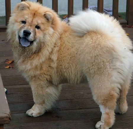 Gemma The Chow Chow Mix Pictures 343118 Chow Chow Mix Beautiful