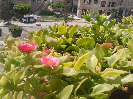 الصبار الإسرائيلي المزهر يعطى أزهار صغيرة جدا تفتح نهارا مع ضوء الشمس تقفل الأزهار فى نهاية النهار مرة أخرى وهكذا وهو من النباتات غزيرة النمو المفترشة و Plants