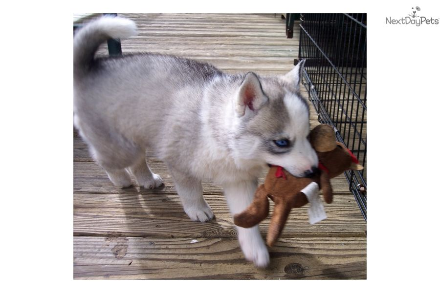 Siberian Husky Puppy For Sale Near Columbia South Carolina