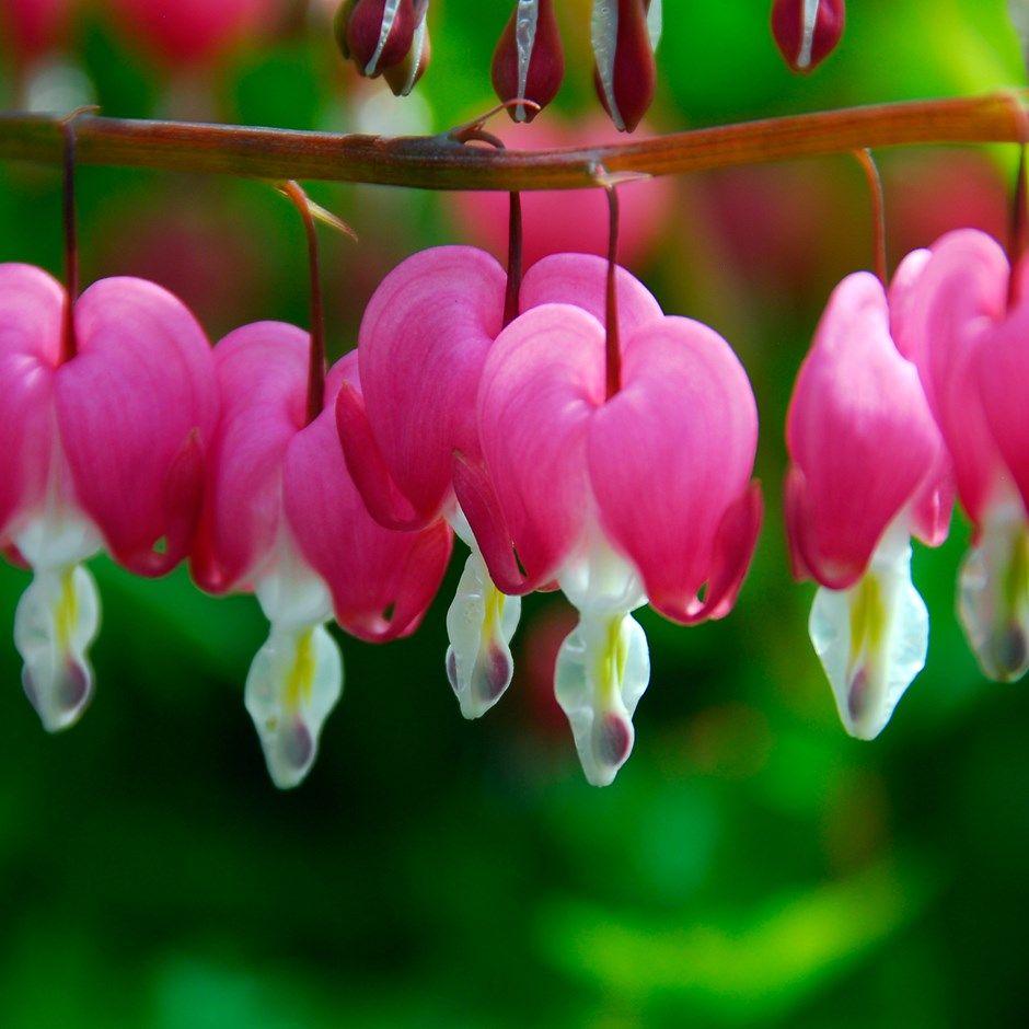 Arching Sprays Of Pink Heart Shaped Flowers Summer Pinterest