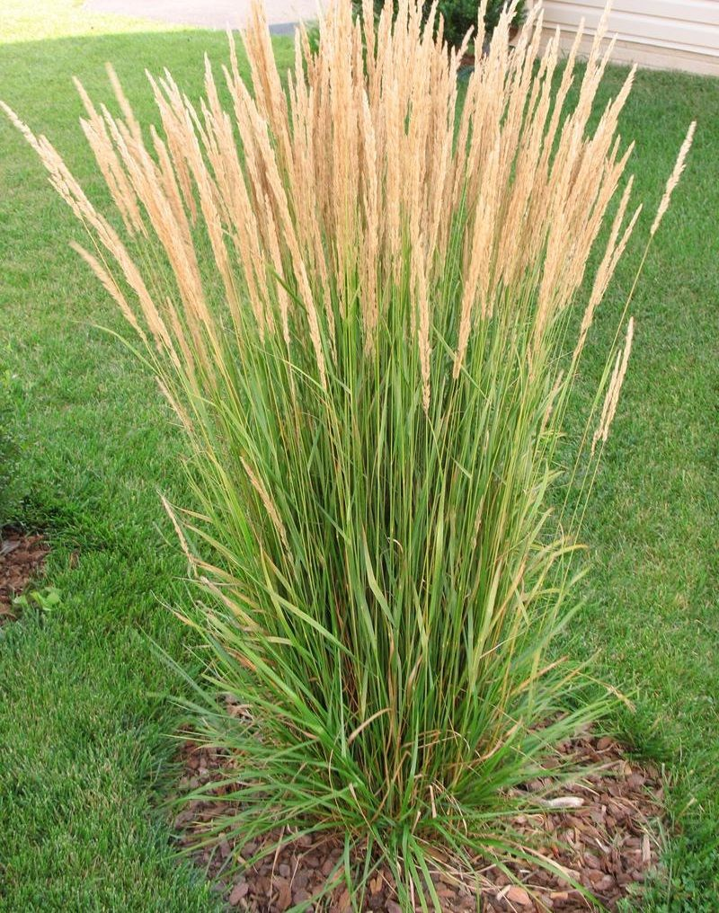 Ornamental grasses landscaping landmark landscapes a for Short landscape grasses