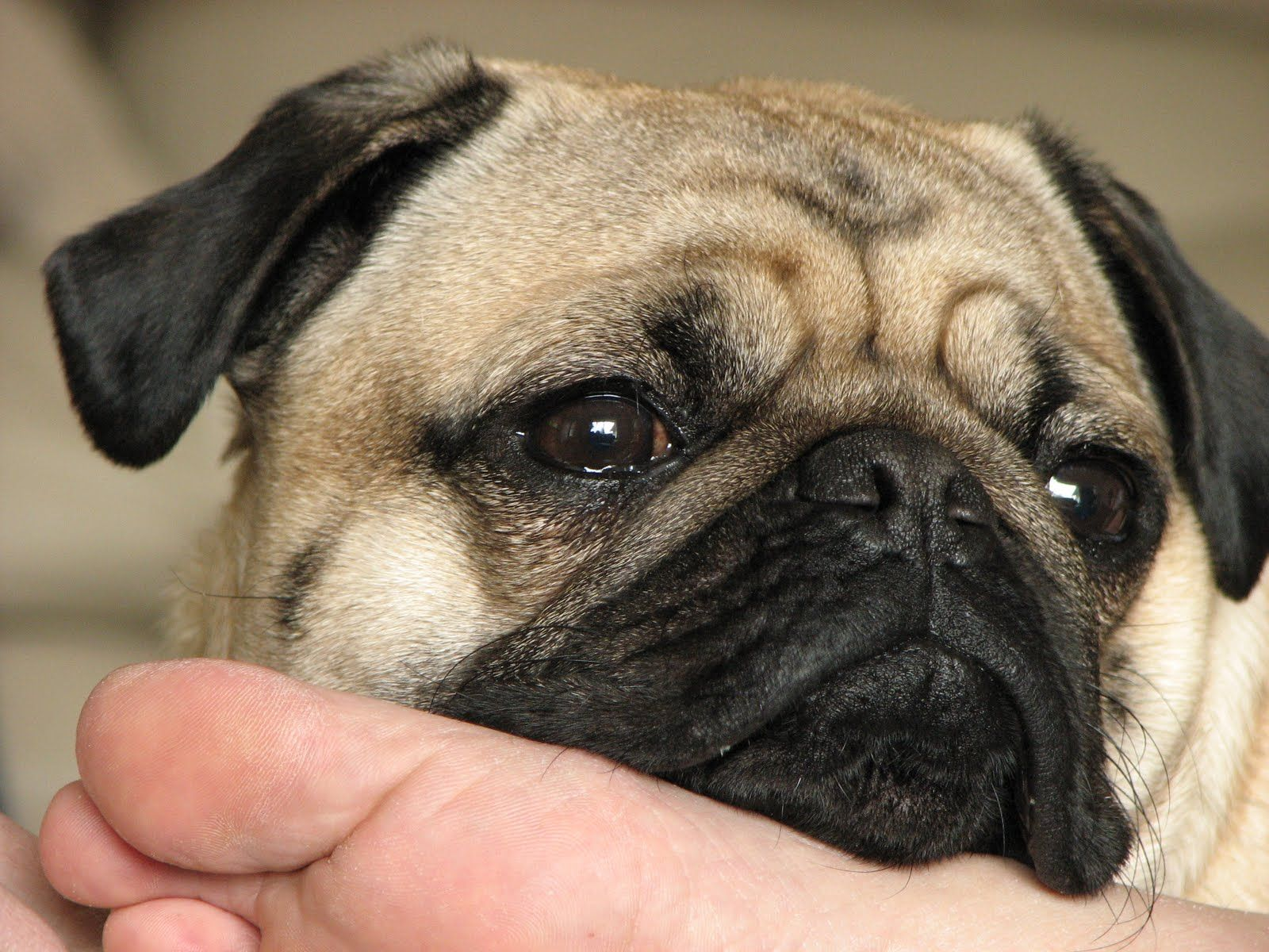 A Pug Is A Toy Dog Breed With A Wrinkly Face And Medium Small Body