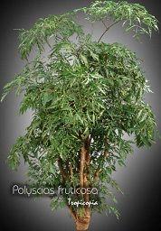 Aralia Polyscias Fruticosa Ming Aralia Parsley Panax House