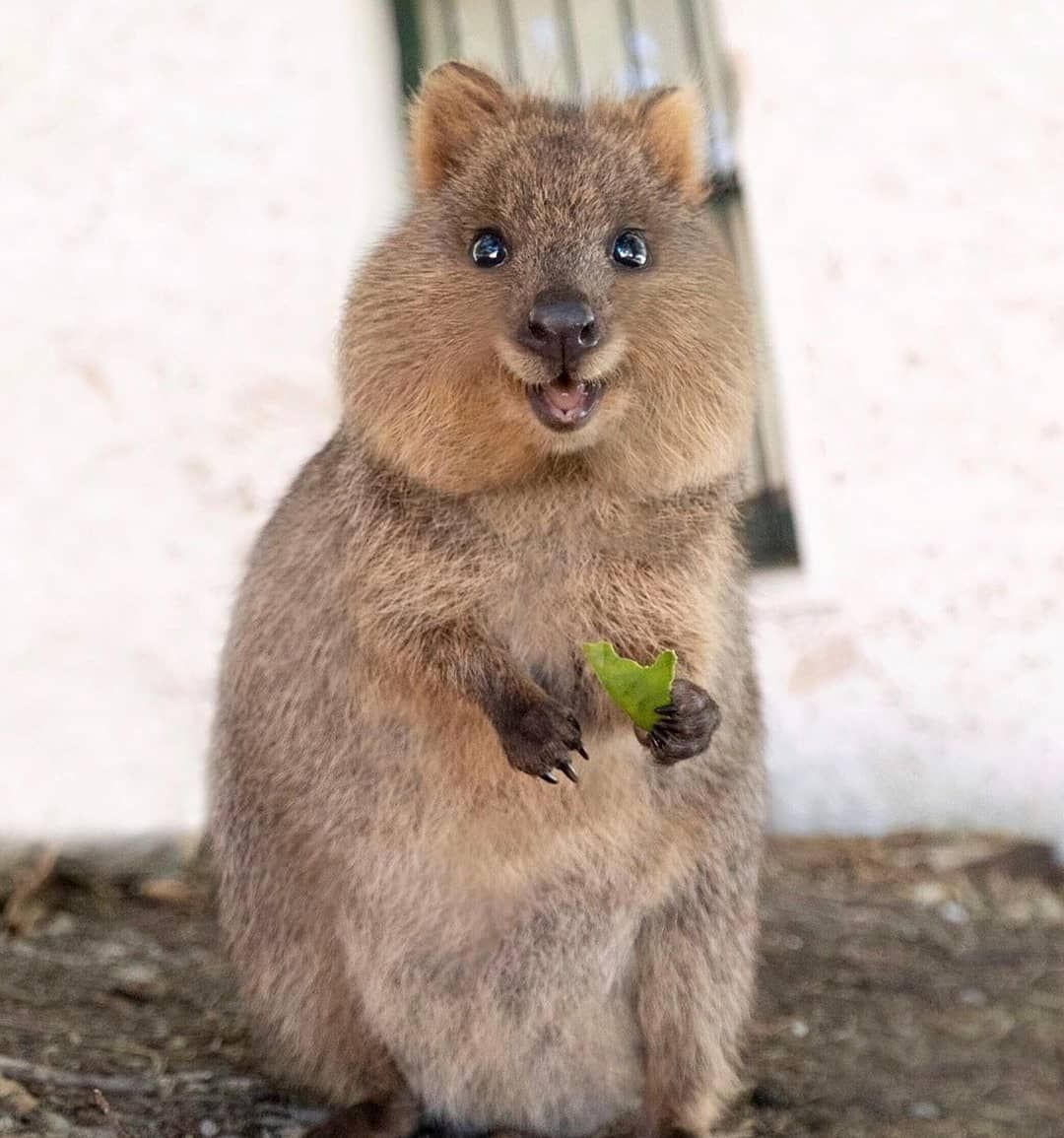 Quokka Love Quokka Quokkas Australia Rottnestisland Animal Quokka Cute Animal Memes Quokka Animal