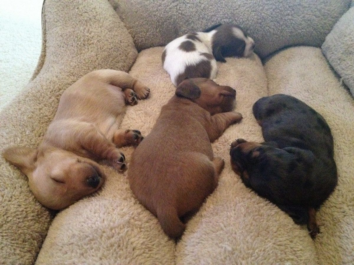 Sweet Doxie Pups Dachshund Puppies Sleeping Puppies Cute Dogs