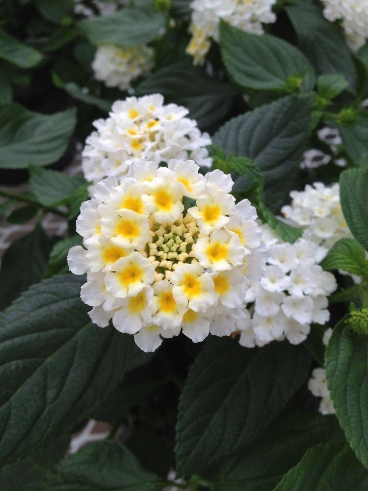 100 Lantana Evita Esperanta White Live Plants Plugs Garden Patio Planters Lantana Annual Plants Lantana Flower Planting Flowers