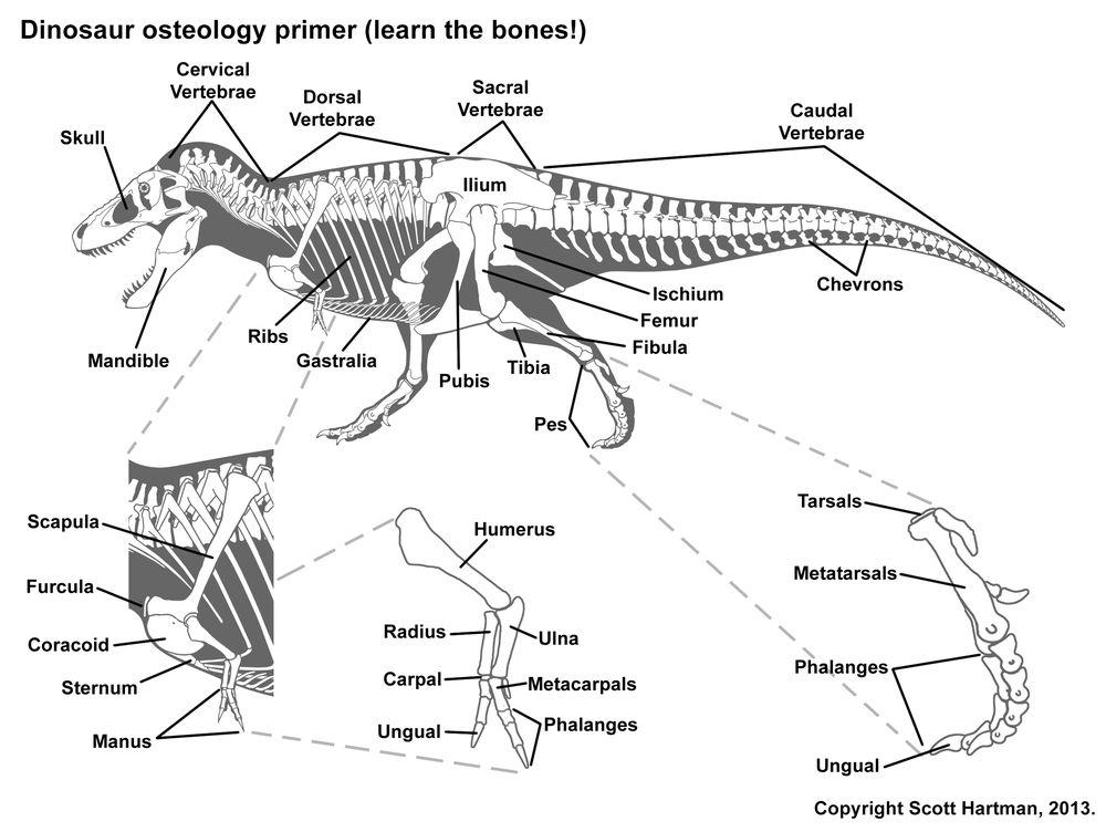 Bone Guide from Scott Hartman's Anatomy page