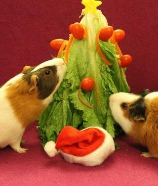 Pin On Guinea Pigs Home