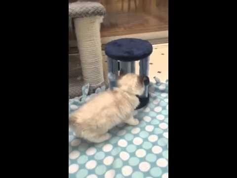 New Video Of 11 Week Old Ragdoll Kitten Charlie