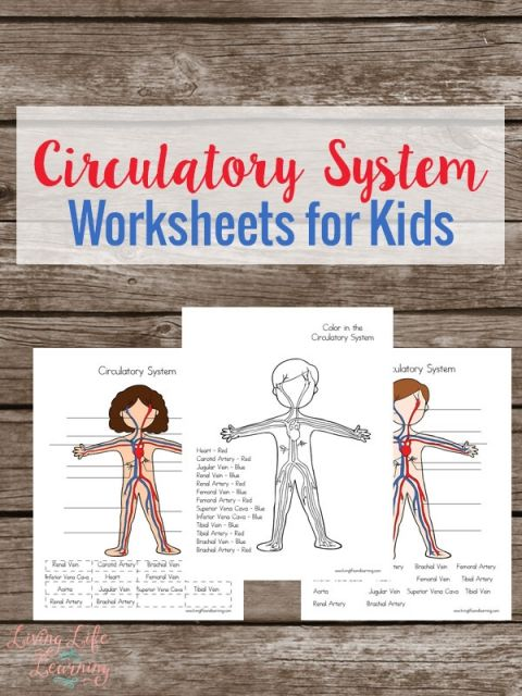 Free Circulatory System Worksheets for Kids | Cycles Primaire ...