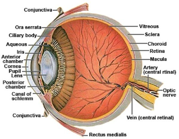Dog eye diagram functions wiring library eye diagram and functions eye diagram and functions healt rh pinterest com eye structure diagram diagram of the outer eye ccuart Gallery