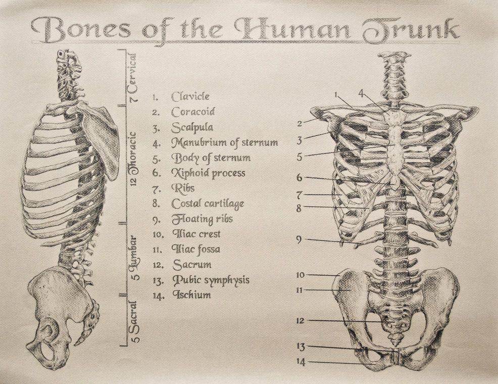 Bones Of The Human Trunk By Tamnguyenkiantart On Deviantart