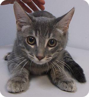 New Hartford Ct Domestic Shorthair Meet Anita Sweet Kitten From Tx A Kitten For Adoption Http Www Adoptapet Com Pet Kitten Kitten Adoption Grey Cats