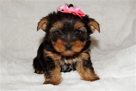 Yorkie Puppy Girl Yorkshire Baby Yorkie Puppy For Sale Yorkie Puppy Yorkie