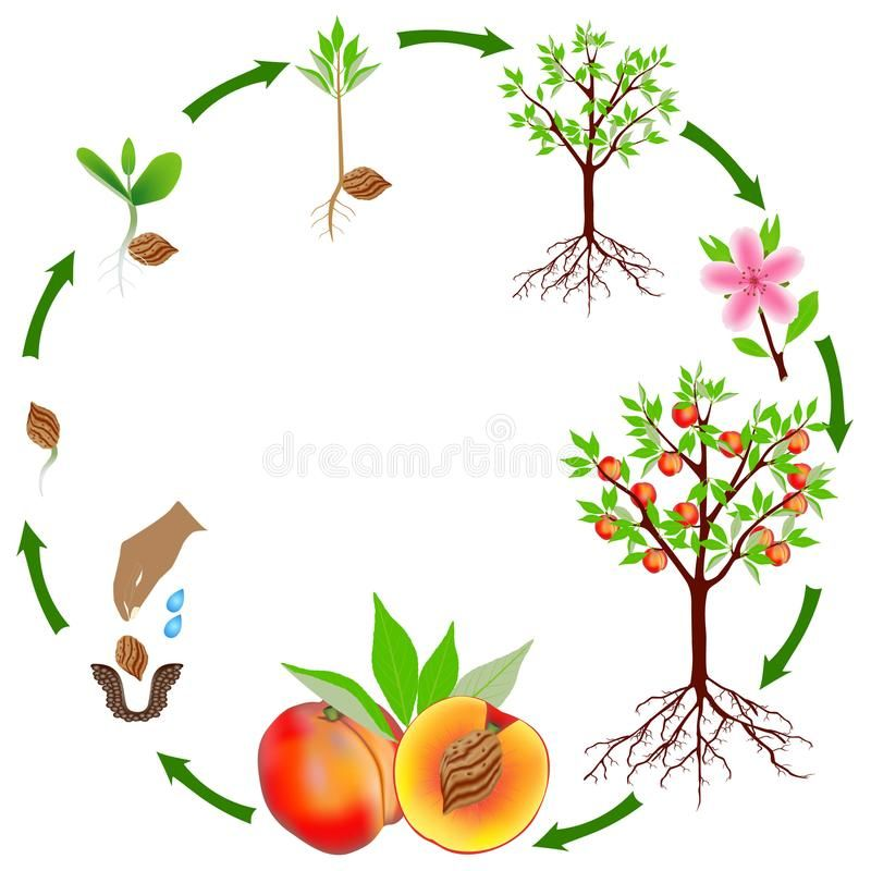 Life Cycle Of A Peach Plant On A White Background Vector Illustration Life Cycles Tree Life Cycle Illustration
